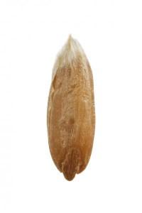 Grano espelta posterior