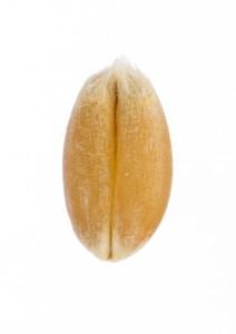 Grano de trigo frontal